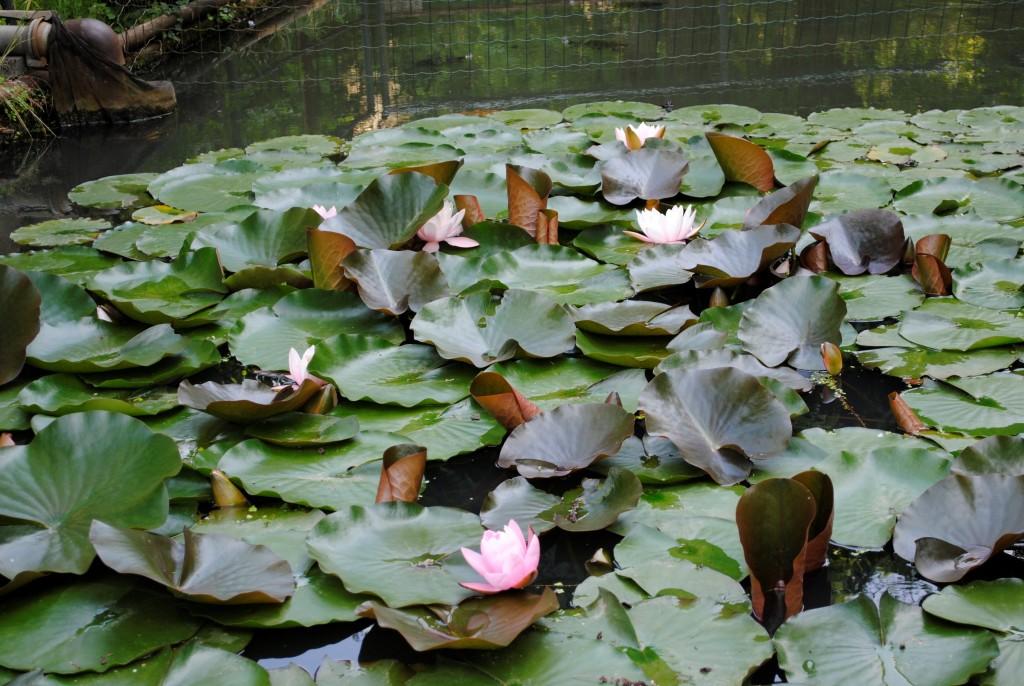 Il giardino delle ninfee il giardino delle ninfee a giverny seventh art productions il - Giardino delle ninfee ...
